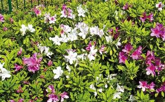 富岡西に咲くツツジ