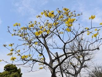 黄色の花を咲かせたイペ