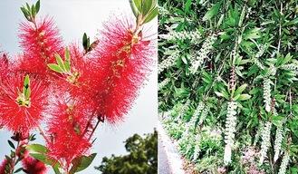 ブラシノキの花(左)と果実(先端の白っぽいやや大粒は1年枝、内側の小型は2年枝)