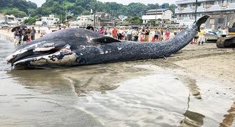 プラスチックごみが胃の中から発見されたクジラの赤ちゃん