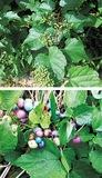 多様な彩りを見せる果実