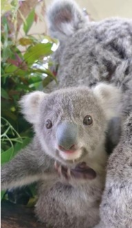 すくすくと成長しているコアラの赤ちゃん