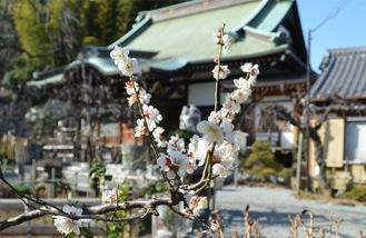 妙法寺に咲く梅の花=2月11日撮影