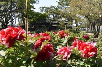 旧伊藤博文金沢別邸の牡丹園(4月6日撮影)