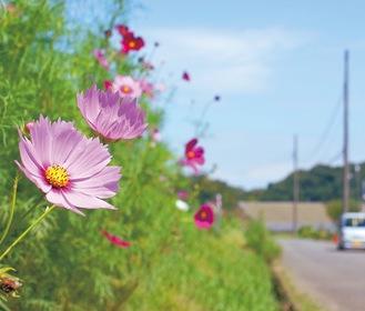 氷取沢町に咲くコスモス=9月10日撮影
