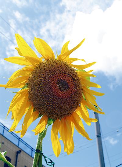 向日葵(ひまわり)夏彩る