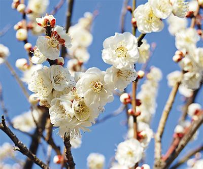 早春の梅を愛でる