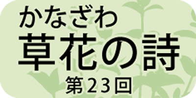 粽(ちまき)に使われた「チガヤ」の葉