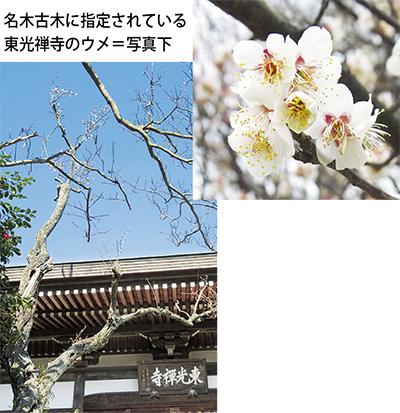 香りを楽しむ東光禅寺の「ウメ」