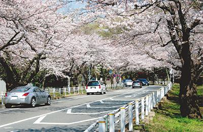 富岡総合公園のソメイヨシノ