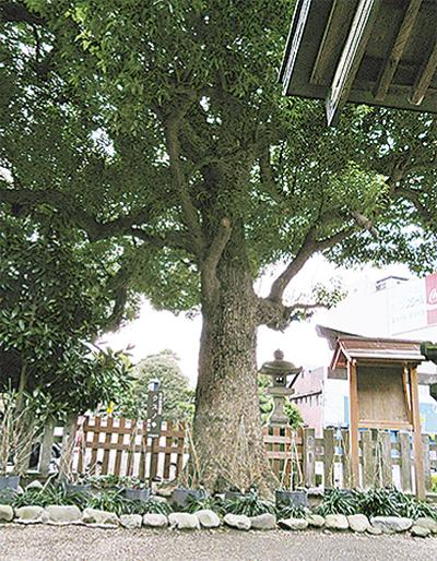 古代から崇められた神木