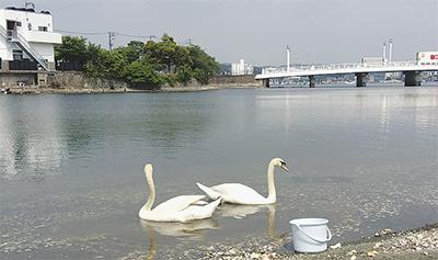 白鳥、平潟湾に現る