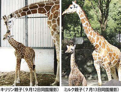 キリンの赤ちゃん2頭目