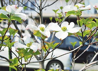 桜の返礼に苗木3000本