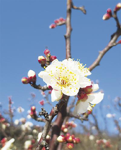 梅の香り感じて野点を