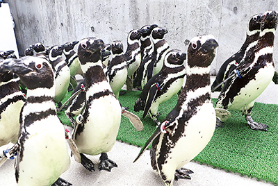 ペンギン82羽が大移動