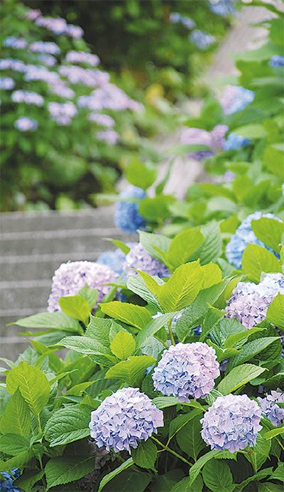 紫陽花、各所で見ごろ