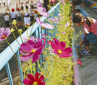磯子区の花、コスモス咲く