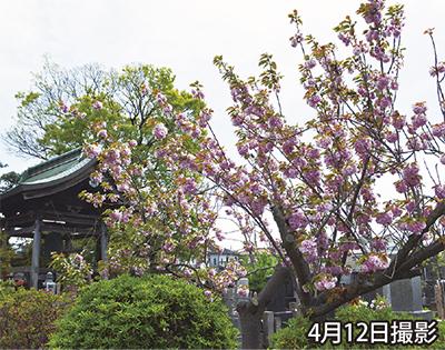 遅咲きの桜が魅了