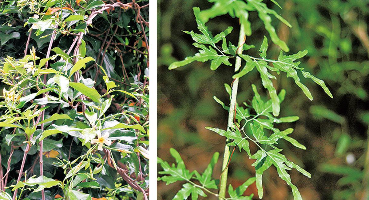 葉で巻き付く珍しい蔓植物