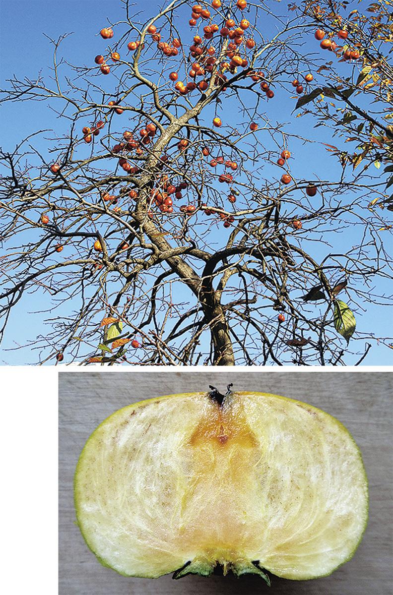 梨は尻から、柿は頭から甘くなる