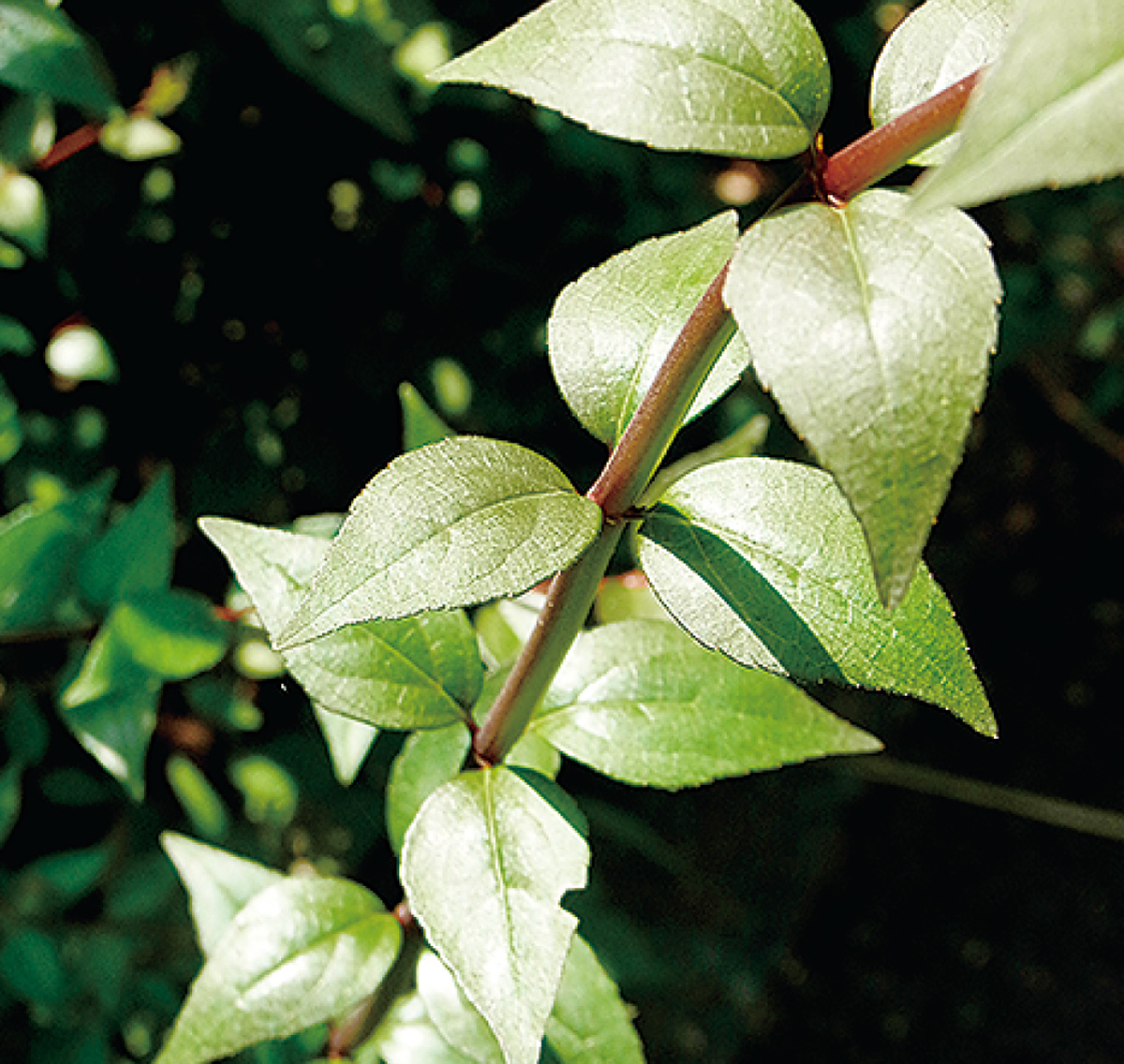 葉のつき方は対生の中に輪生もある