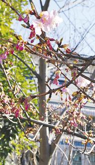 大きく膨らむつぼみとともに咲く河津桜(2月10日撮影)