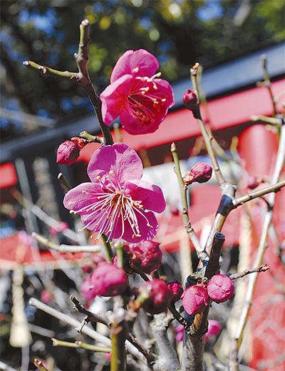 岡村天満宮で梅の花見頃