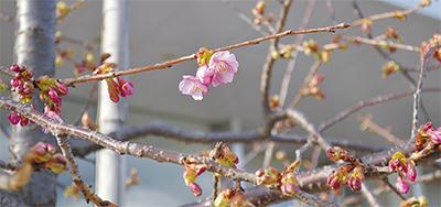 磯子センター河津桜、開花