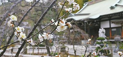 区の木「梅」が開花