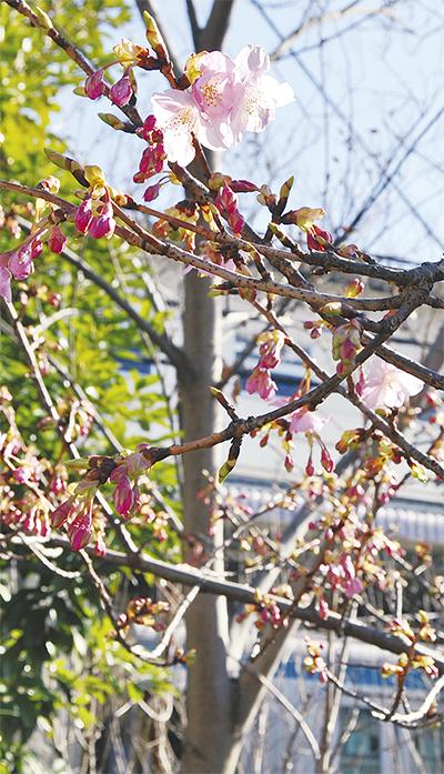 磯子駅前の河津桜開花