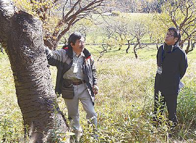 桜山の老木、再整備へ