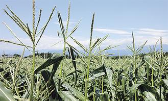 灼熱の太陽を浴び、自分で収穫したトウモロコシの味は格別