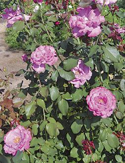 バラの香りが溢れる園内