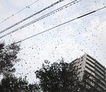 上永谷駅付近を飛ぶ群れ(写真は昨年)