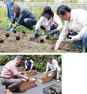丸山台自治会が中央分離帯に、丸山台商店会はプランターに苗を植えた