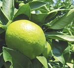 廣井園芸のグリーンレモン