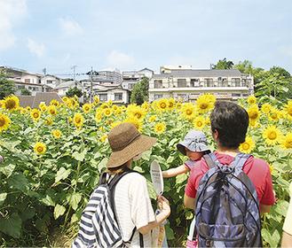 上大岡駅から徒歩7分の場所に広がるひまわり畑(写真は昨年)