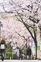 桜道 全面的に植え替えへ