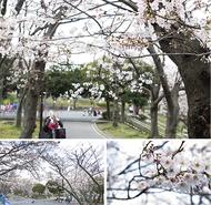 各地で桜が開花