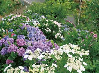 大輪が咲き誇る「あじさいの丘」(写真は昨年)。交通アクセスは神奈中バス「犬山」または「西ヶ谷」バス停から徒歩7、8分