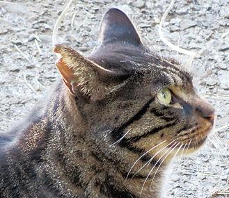 手術済みの識別となる「耳カット」を施してある猫(右耳)