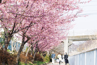 河津桜を横目にのんびり歩き