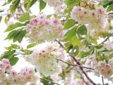 御衣黄桜が見頃に