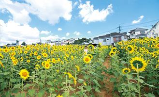 上大岡のひまわり畑(写真は2016年)
