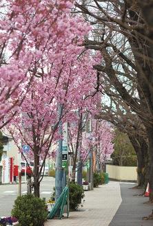ソメイヨシノ(右)に代わって「陽光」(左)に衣替えの桜道