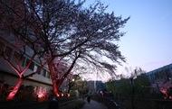 夜道に浮かぶ満開の桜