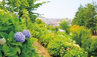 あじさいの丘(5月30日撮影)