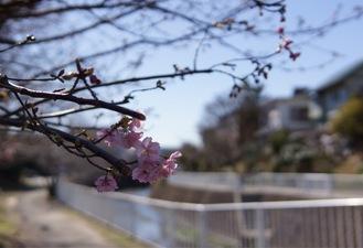 ちらほらと咲き始めた平戸永谷川の河津桜(9日撮影)