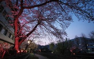 いたち川の桜のライトアップ(写真は昨年)